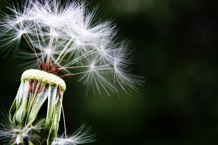 dandelion-alergias
